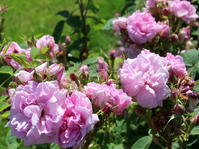 「バラの香りについて」の講座がありました。 - バラとハーブのある暮らし Salon de Roses