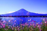 30年9月の富士(20)河口湖の秋桜と富士 - 富士への散歩道 ~撮影記~