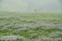 霧雨の中の赤牛 - Mark.M.Watanabeの熊本撮影紀行