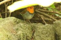 コマドリとノゴマ - 今日の鳥さんⅡ