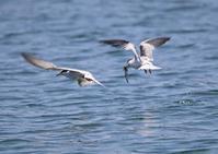 海鳥~コアジサシ - なんでもブログ
