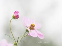 秋桜 - 瞳の記憶