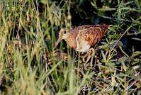 在庫から・・過去の「タマシギ」さん親子♪ - ケンケン&ミントの鳥撮りLifeⅡ