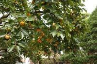 「東京の柿の実は落ちないのね」 - もるとゆらじお