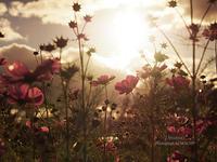 日暮れの秋桜。 - Precious*恋するカメラ