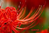 曼珠沙華 - gracefully heart