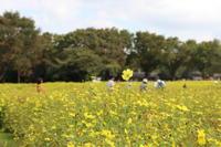 キバナコスモス♪2018昭和記念公園 - Let's Enjoy Everyday!