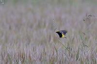最後のオウゴンチョウ - 野鳥公園