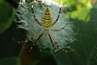 ナガコガネグモ Argiope bruennichii - 写ればおっけー。コンデジで虫写真