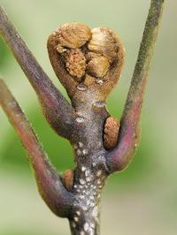 冬芽から何が出るか - 自然観察大学ブログ