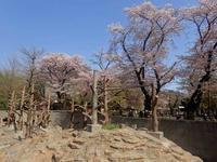 桜満開!井の頭は春爛漫!!~桜吹雪とアカゲザル - 続々・動物園ありマス。
