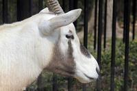 25 February 2017 福岡市動物園アラビアオリックス - アニマルマニア