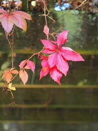 秋はやっぱり赤い葉が見たい - 花散歩写真 in Vancouver