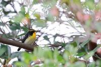 夏鳥の渡り - キビタキ、オオルリ、エゾビタキ - 八分目とり日記