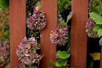 *紫陽花* - 静かな時間