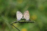 普通種の五目狙い - 蝶超天国