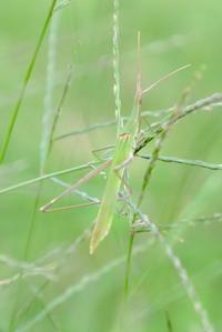 バッタの仲間です。どちらも昆虫です - 平凡な日々の中で