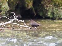 湯川に馴染むカワガラス - コーヒー党の野鳥と自然 パート2
