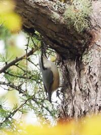 カラマツの樹にゴジュウカラがいた - コーヒー党の野鳥と自然 パート2