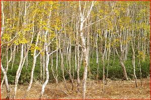 本日志賀高原に行ってきました:白樺林;予告編です(乞うSNS映え) - えいじのフォト徒然日記