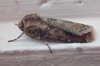 タマナヤガ Agrotis ipsilon - 写ればおっけー。コンデジで虫写真