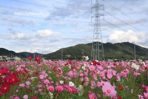 秋桜~* ぶら~っとドライブ♪ - miyorinの秘密のお庭