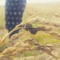 稲刈りと稲霊 - ジーバナ農園