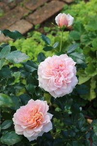 もう1つのアスター&多肉の花が咲いた♪ - ペコリの庭 *