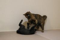 対面先住猫のストレス - ボルドーとぺんぺん草