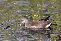 オオバン幼鳥と成鳥 - 風のささやき