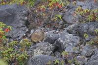 ナキウサギⅡ - 奥武蔵の自然
