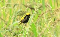 オウゴンチョウ - barbersanの野鳥観察