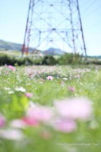 高原のコスモス畑 - *Any*