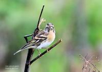 アトリは山地の森林などで生活、群れで木の実を食べる - THE LIFE OF BIRDS ー 野鳥つれづれ記