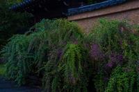 土塀に咲く萩~迎称寺 - 鏡花水月