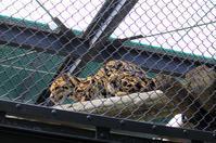 25 February 2017 福岡市動物園ウンピョウ - アニマルマニア