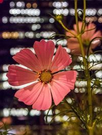夜の花園 - シセンのカナタ