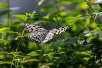 多摩動物園昆虫園の蝶 - あだっちゃんの花鳥風月