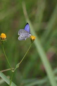 ヤクルリの♂の翅表 - 蝶超天国