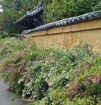土塀に寄り添うように咲く迎称寺の萩 - たんぶーらんの戯言