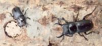#甲虫『小鍬形』 Dorcus rectus - 自然感察 *nature feeling*