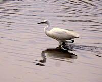 波志江沼で水辺の鳥さん - 星の小父さまフォトつづり