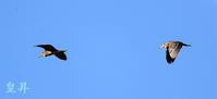 他の水鳥を撮影中時に、ゴイを撮る事が出来ました、又、一種類加算され嬉しいです。誠 - 皇 昇