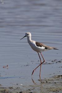 正に水辺の貴婦人セイタカシギ - 野鳥公園