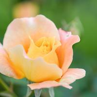 秋薔薇#2 - 長い木の橋