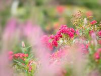 YOKOHAMA山下公園の薔薇 - 君に届け