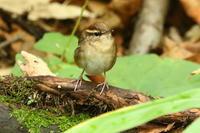 湖畔の森でコマドリ♀ほか - 今日の鳥さんⅡ
