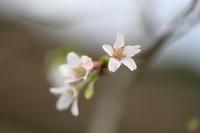 秋に咲く桜 - ecocoro日和