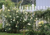 幸せの黄色いバラ - ペコリの庭 *