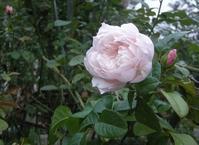 今日の庭ザ・ジュネラス・ガーデナー - シェーンの散歩道